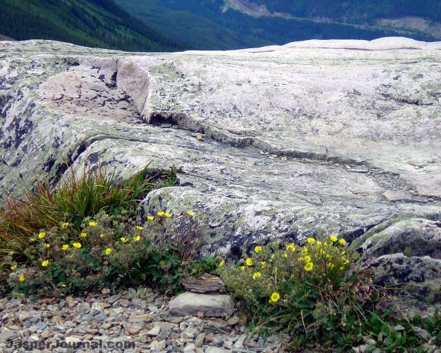 Flowers on Whistlers Mountain Photo