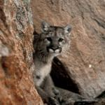 "Mountain Lion - ""Better yet, if called by a panther,Don't anther."" - Ogden Nash - Canadian Rockies"