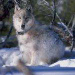 Gray Wolf - The Gray Wolf is an endangered species. - Canadian Rockies