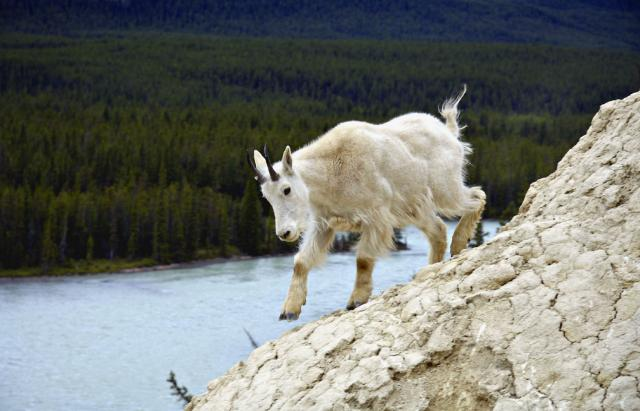 Mountain Goat near Icefields Parkway Photo