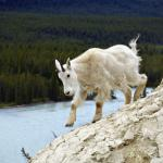 Mountain Goat near Icefields Parkway - Climbing the mountain - Canadian Rockies