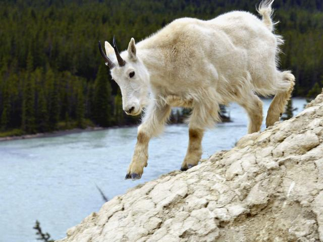 I'm just a mountain goat Photo