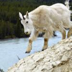 I'm just a mountain goat - I can climb any mountain. - Canadian Rockies