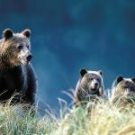 Grizzly Bear Family Goes Hiking - A grizzly bear and her cubs - Canadian Rockies