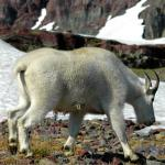 Mountain Goat in snow - A Mountain Goat walking around, looking for food. - Canadian Rockies