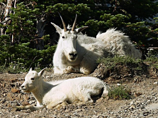 Mountain goat and kid taking a rest Photo