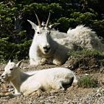 Mountain goat and kid taking a rest