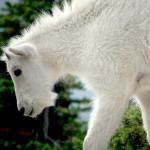Mountain Goat kid - A young Mountain Goat - Canadian Rockies