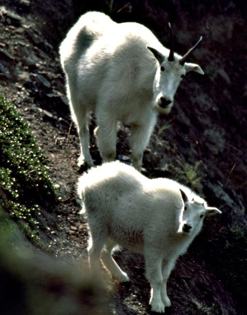 2 Mountain Goats on a Hill Photo