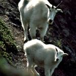 2 Mountain Goats on a Hill - Posing on the hill - Canadian Rockies