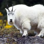 Wise Old Mr. Mountain Goat - This guy knows where the salt licks are - Canadian Rockies