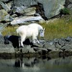 Mountain Goat Along the River - Having a drink - Canadian Rockies