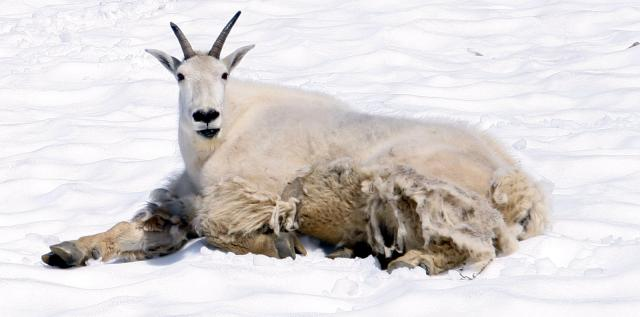 Mountain Goat shedding his coat for spring Photo