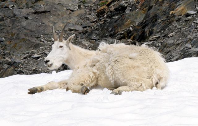 Mountain Goats laying in snow Photo
