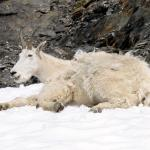 Mountain Goats laying in snow - Even mountain goats need a break - Canadian Rockies