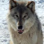 Gray wolf smiling