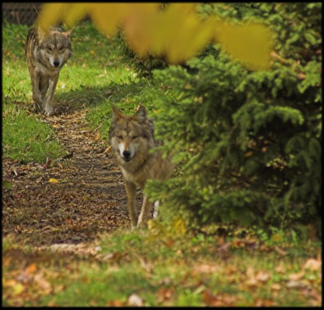 Gray wolves out and about Photo