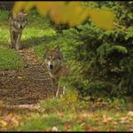 Gray wolves out and about
