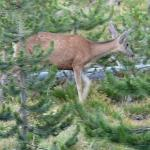 A Deer in the Woods in Jasper National Park - Taking a walk near Pyramid Lake - Canadian Rockies
