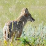 Coyotes in Jasper
