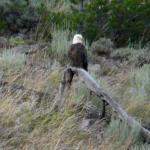Bald Eagle - Watching for fish - Canadian Rockies