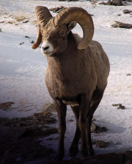 A Bighorn Sheep in the Canadian Rockies Photo