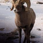 A Bighorn Sheep in the Canadian Rockies