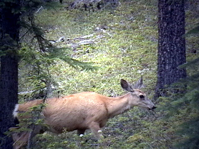 My deer, it is a tourist at Maligne Lake Photo