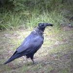 Hello black bird, sing me a song - A common raven in Jasper National Park - Canadian Rockies
