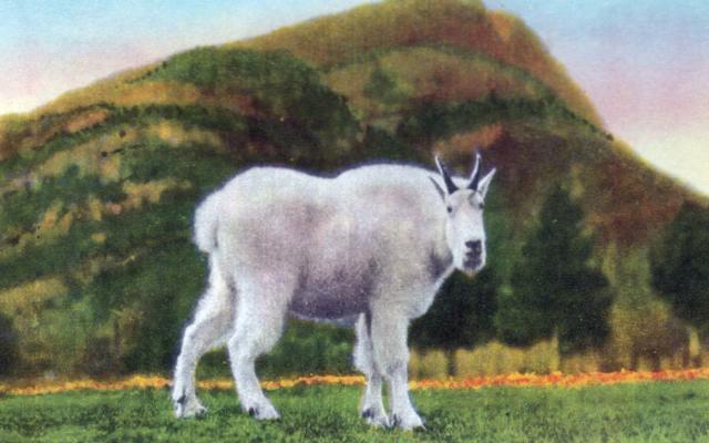 Vintage Mountain Goat Postcard Photo
