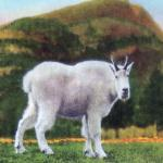 Vintage Mountain Goat Postcard - From the 1940s - Canadian Rockies