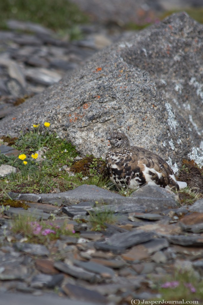 Ptarmigan in Jasper National Park