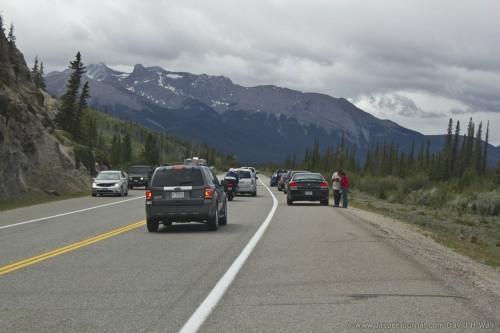 An animal jam on highway 16 in Jasper
