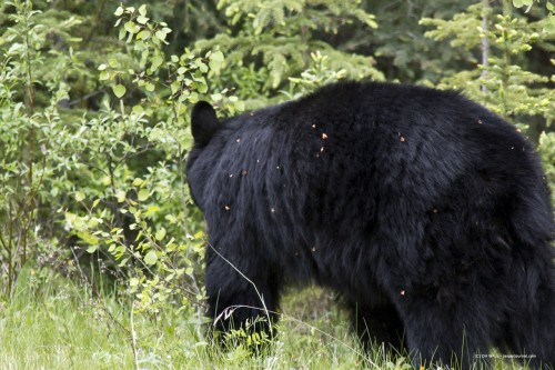 Black Bear in Banff National Park