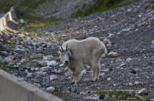 Mountain Goat in Kootenay National Park