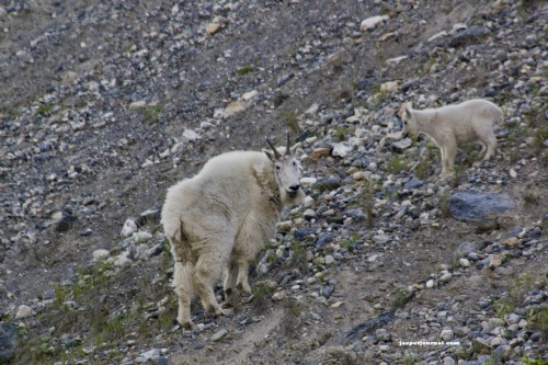 Mountain goats on hill in Canadian Rockies