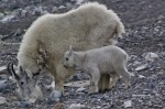 Kootenay National Park mountain goat and kid