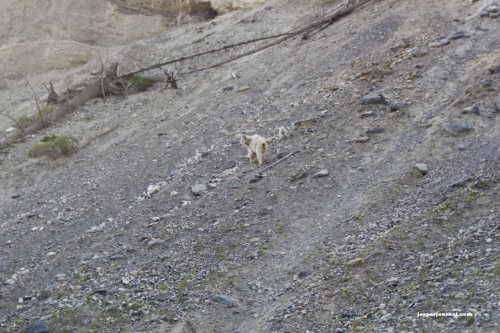 Kootenay mountain goats on steep hill