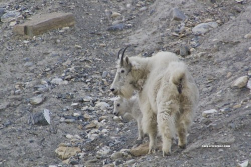 Mountain goat nanny and kid standing on hill on Kootenay National Park