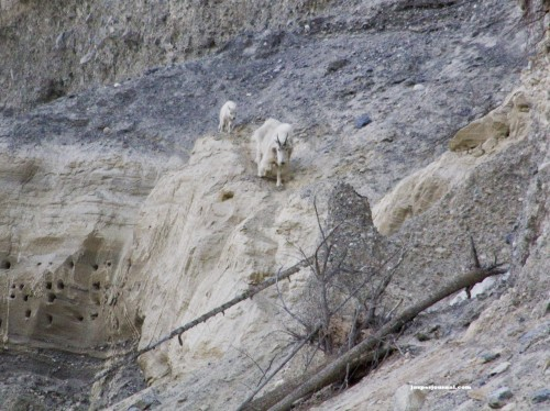 Mountain goat kid and nanny