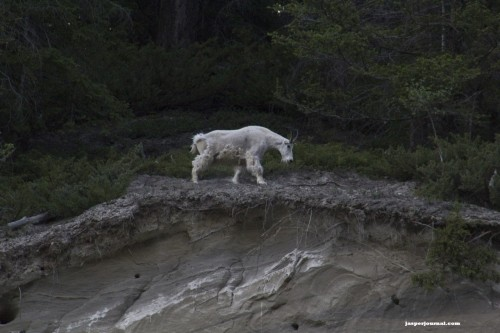 Mountain goat billy in Kootenay National Park