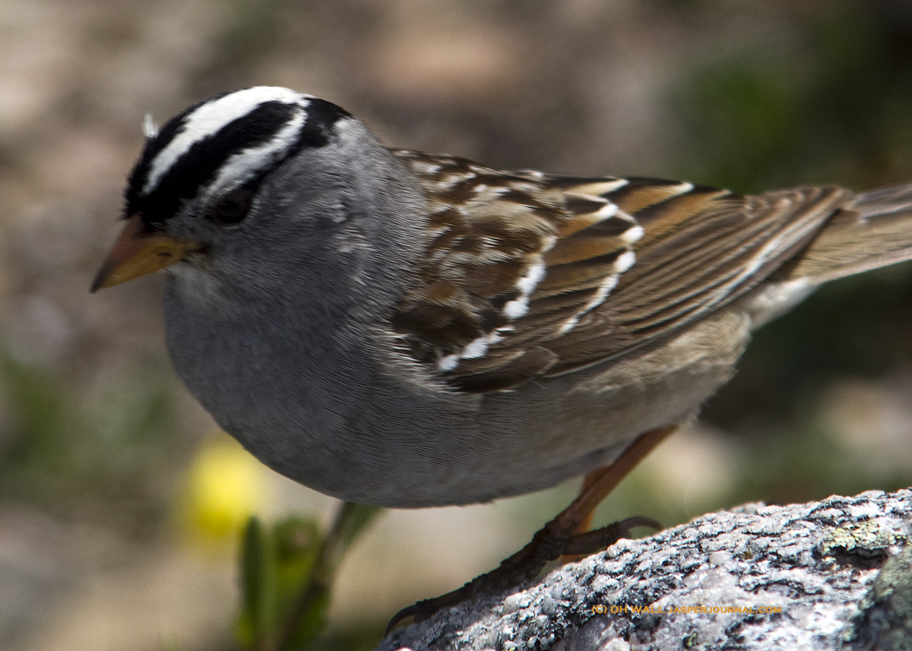 A white crowned sparrow in jasper national park jasper national white crowned sparrow in jasper national park alberta canada thecheapjerseys Image collections