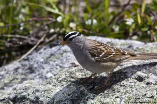 A white-crowned sparrow in Jasper National Park