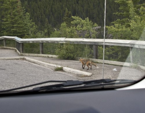 Red Fox in Miette Hot Springs Road in Jasper National Park