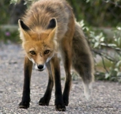 A red fox in Jasper National Park