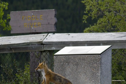 The red fox looks like it is sightseeing.  Maybe it is on vacation too.