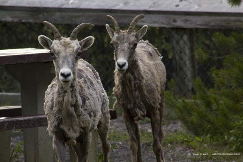 Two molting bighorn sheep ewes in the Canadian Rockies