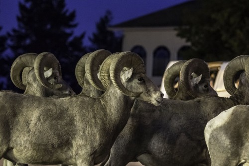bighorn sheep in Radium Hot Springs