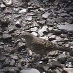 Brown bird - tweet, tweet - Canadian Rockies