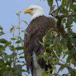 Bald Eagle - Bald Eagles have a home in Jasper National Park. - Canadian Rockies